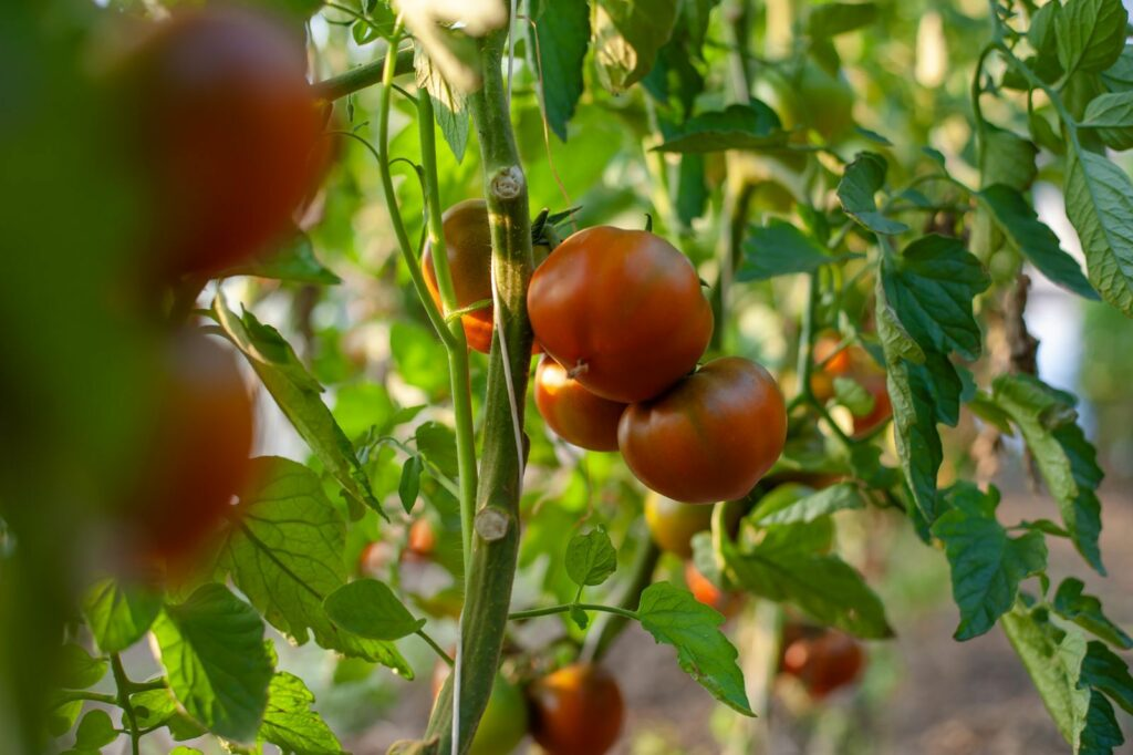 Tschernij Prinz Tomaten
