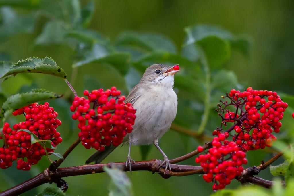 Holunderbeeren als Nahrung für Vogel