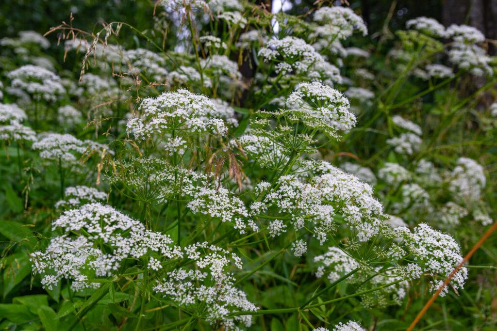 Anis: Alles zum Anpflanzen im Garten