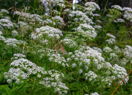 Anis-Blüten Weiß