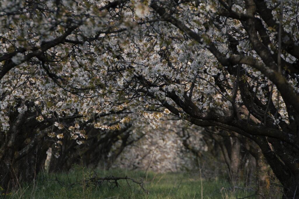 Apfelbäume gehören zum Wald dazu