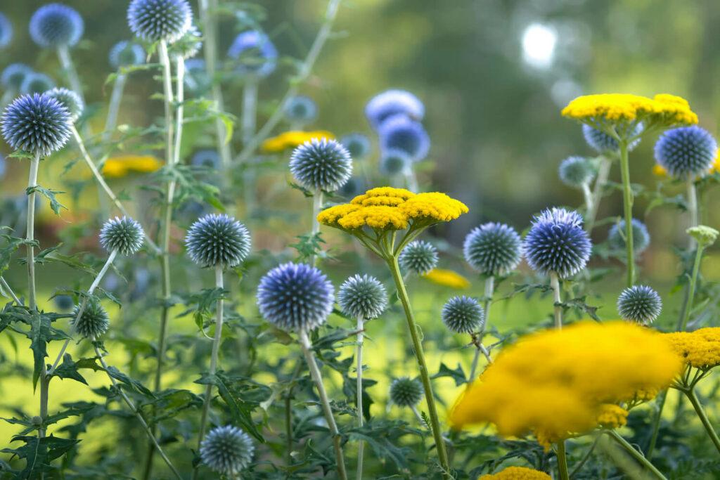 Blaue Kugeldisteln mit gelben Blumen kombiniert