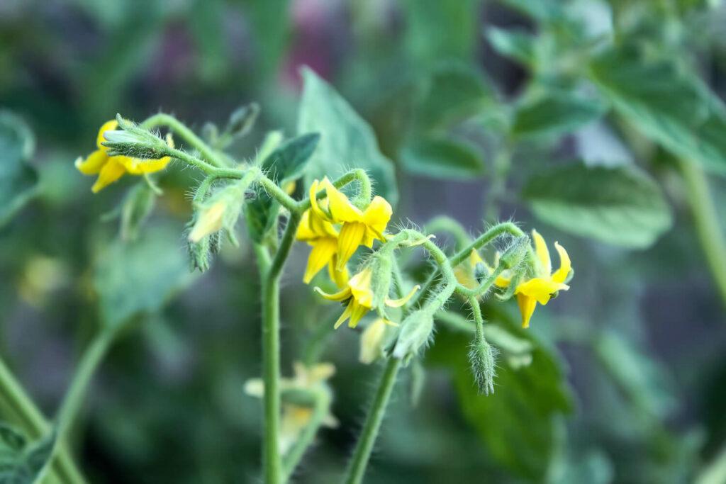 Blüte der Golden Currant Tomatensorte