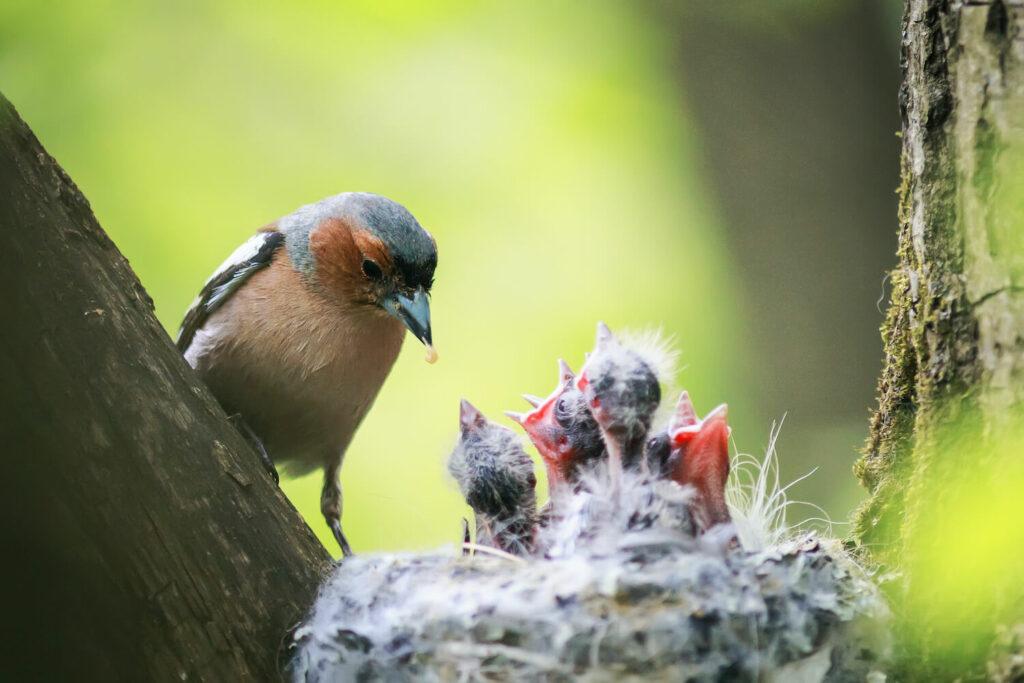 Buchfink-Babies im Nest