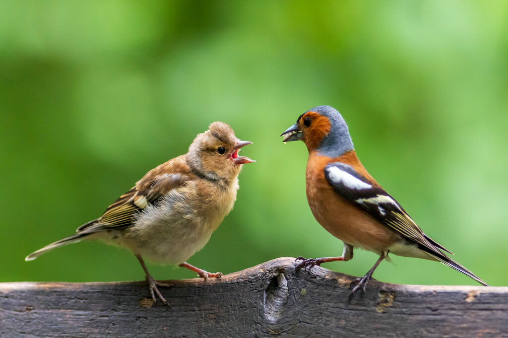 Buchfink-Jungvogel neben Männchen