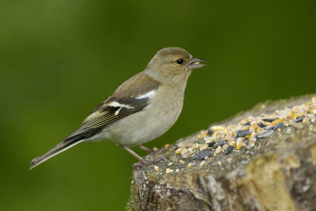 Buchfink-Weibchen auf Baumstumpf