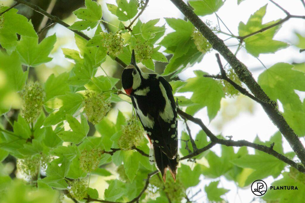 Buntspecht-Männchen in Baum