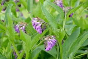 Beinwell: Anpflanzen & Pflegen des Heilkrautes