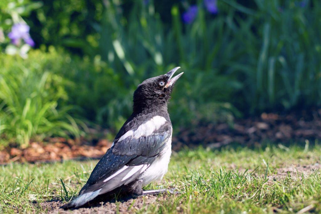 Elster-Jungvogel im Gras