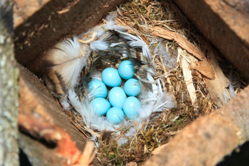 blaugrüne Gartenrotschwanz-Eier