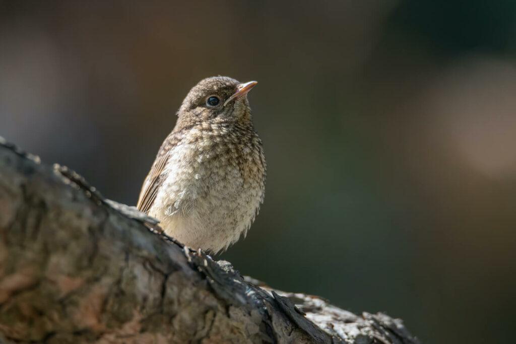 Gartenrotschwanz-Jungvogel auf Ast sitzend