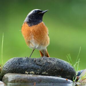 Gartenrotschwanz-Männchen Auf Stein Sitzend