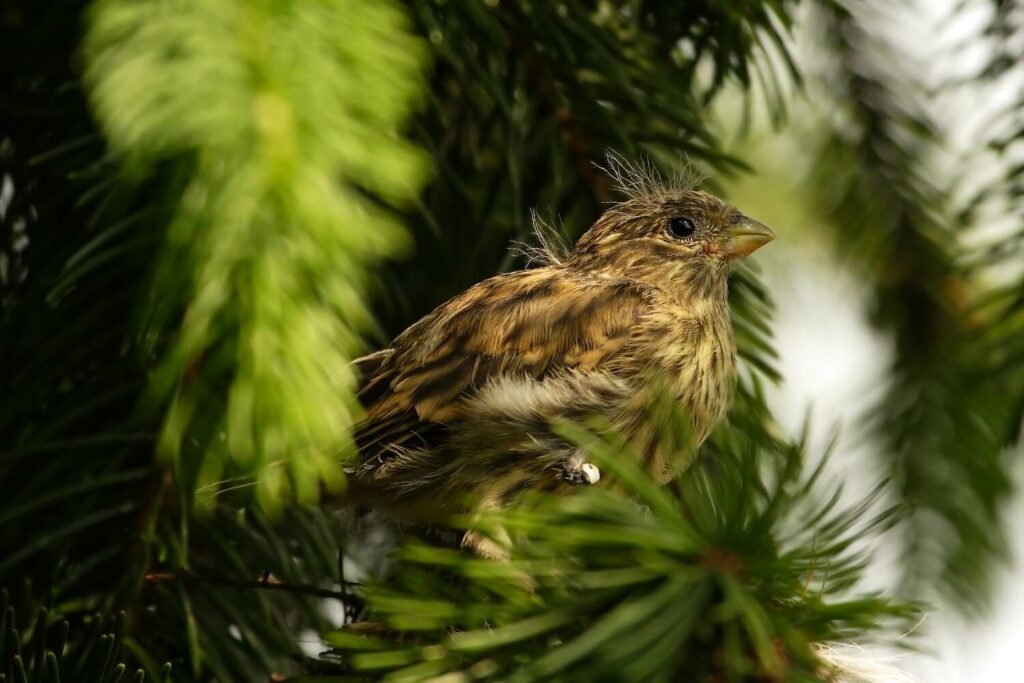 Girlitz-Jungvogel in Baum
