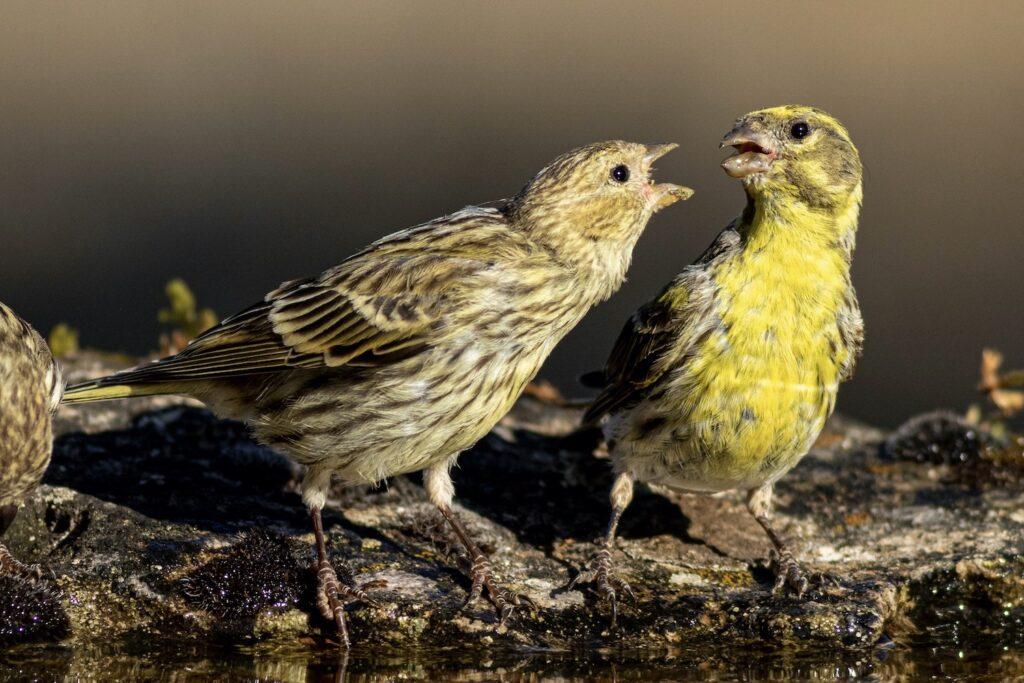 Girlitz-Weibchen und -Männchen