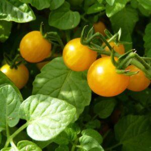 Tomatensorte Golden Currant