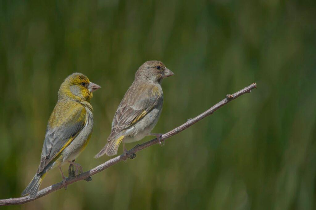 Grünfink Weibchen und Männchen