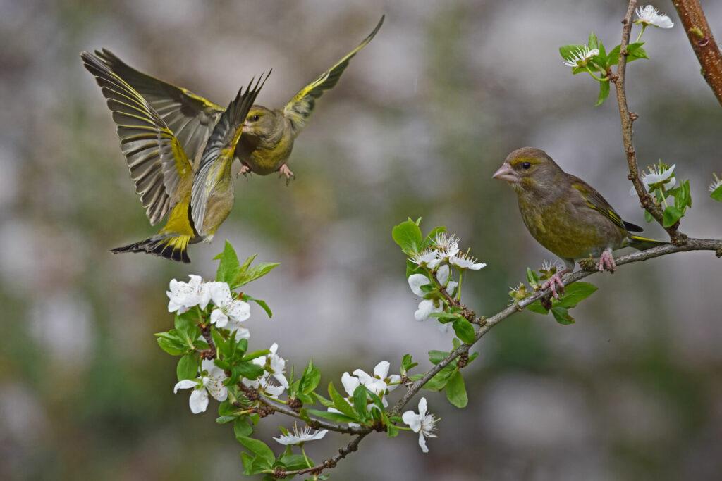 Grünfinken auf Ast