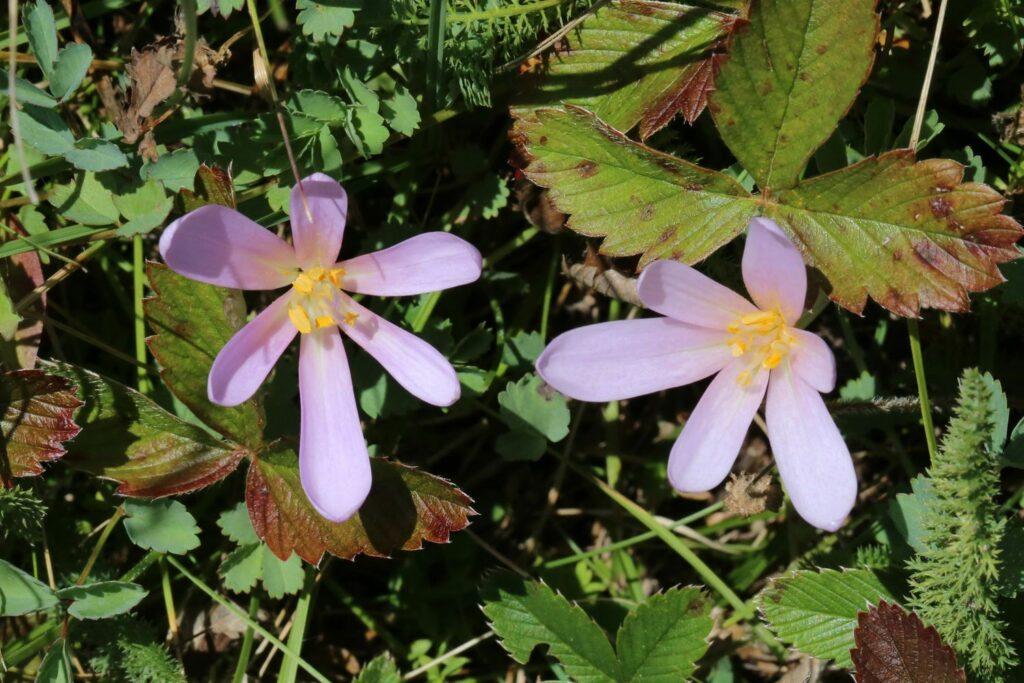 Blüten der Herbstzeitlose