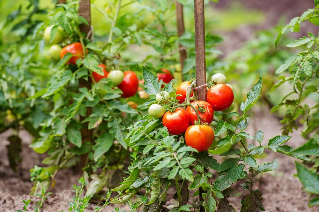 Der Strauch der Hoffmans Regina Tomatensorte