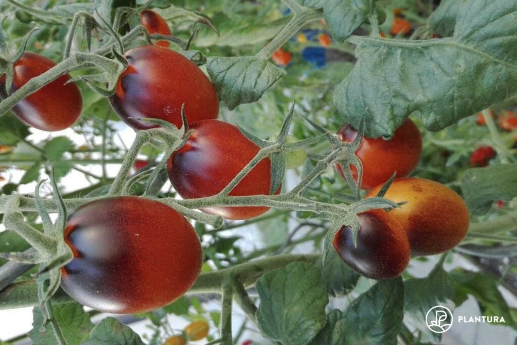 Indigo Kumquat Tomaten