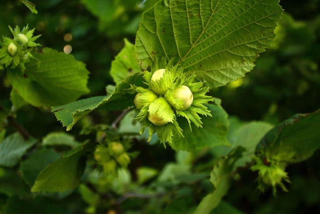 Haselnüsse bilden sehr gesunde Früchte