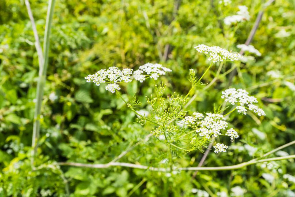 weiße Blüten des knolligen Kälberkopfs