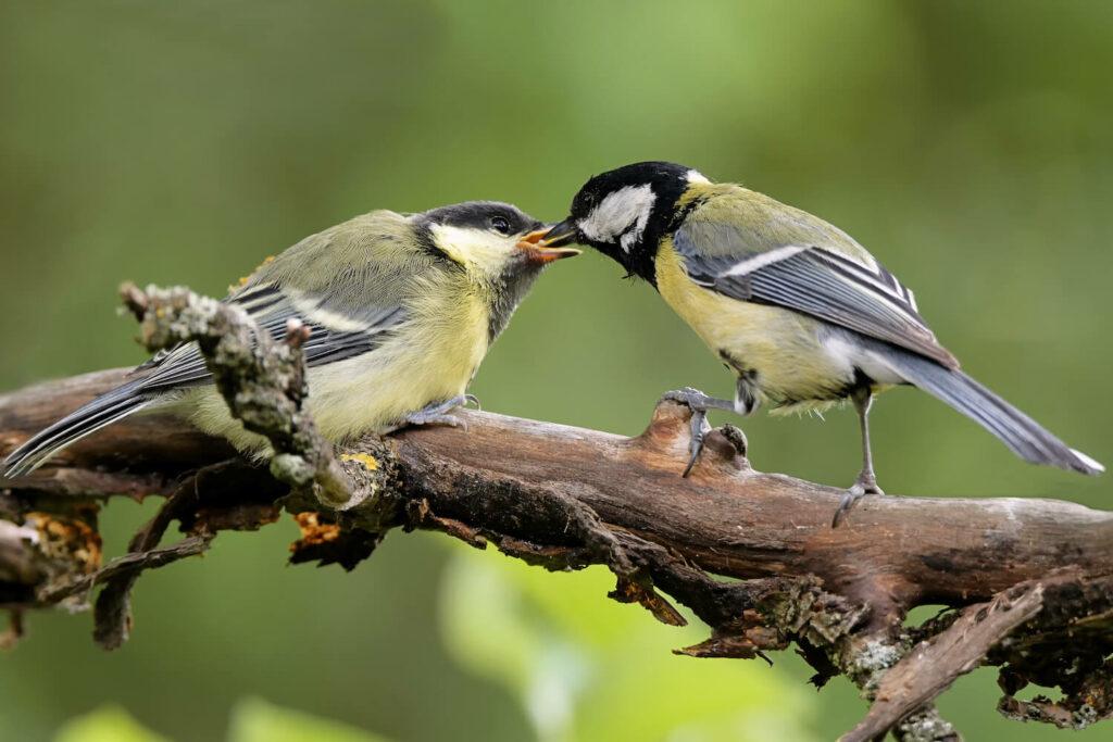 Kohlmeise-Jungvogel mit -Weibchen