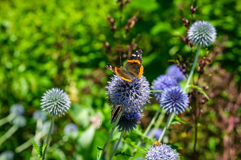 Schmetterlinge auf blauer Kugeldistel