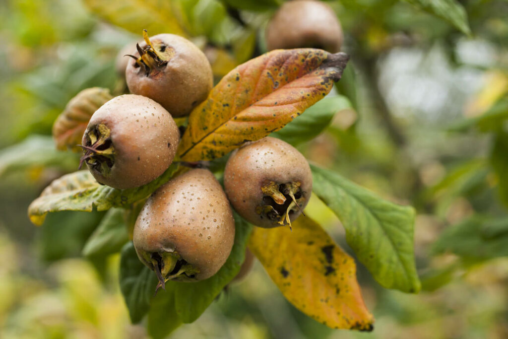 Mispel-Früchte am Baum