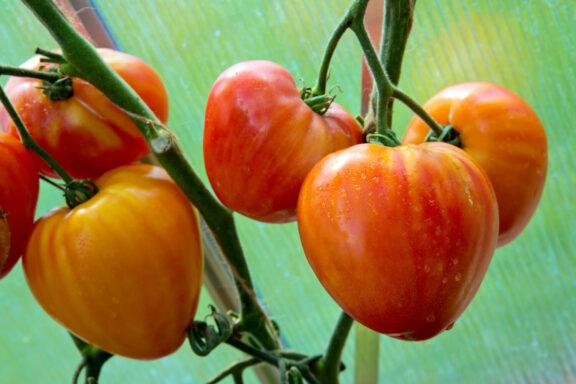Tomatensorte 'Orange Russian': Die Ochsenherztomate im Portrait