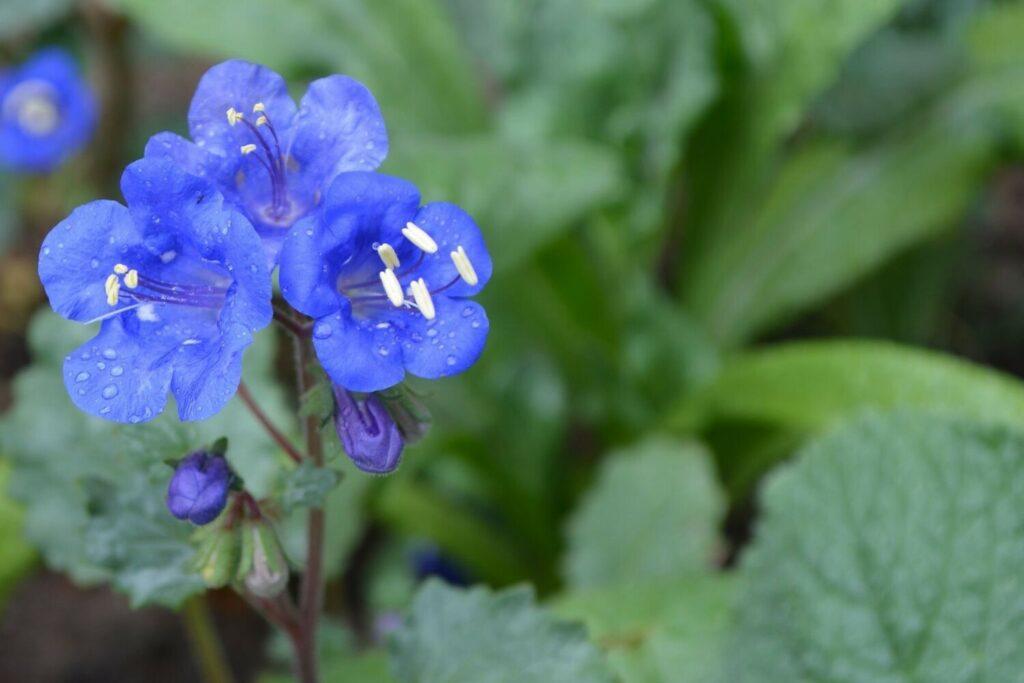 Phacelia Blüte der Sorte Blue Bonnet