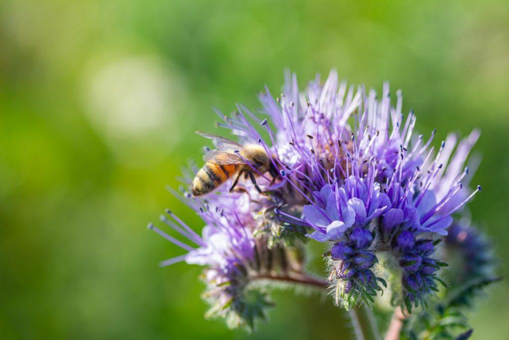 Phacelia Blüte mit Biene