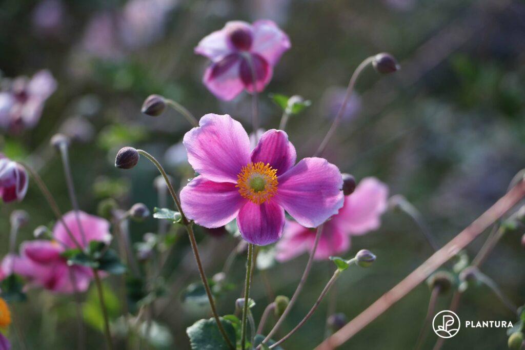 Herbstanemone in Rosa
