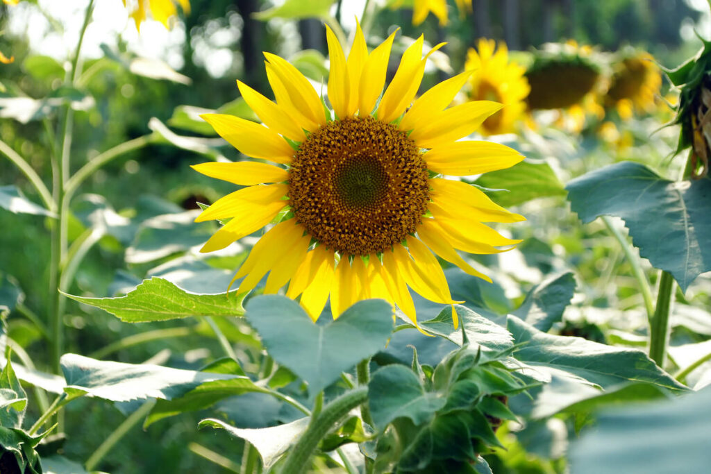 bluehende Sonnenblume