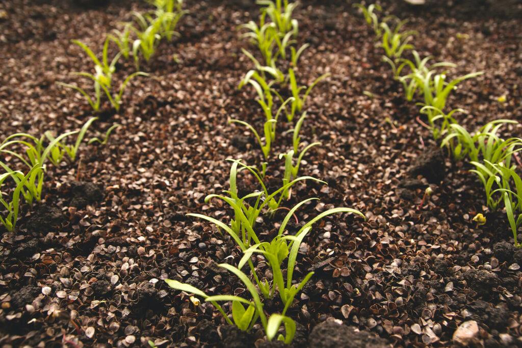 Spinat-Pflanzen im Beet