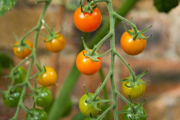 Sungold: So pflanzt & pflegt man die Tomatensorte