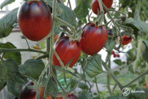 Tomaten Der Sorte Indigo Kumquat