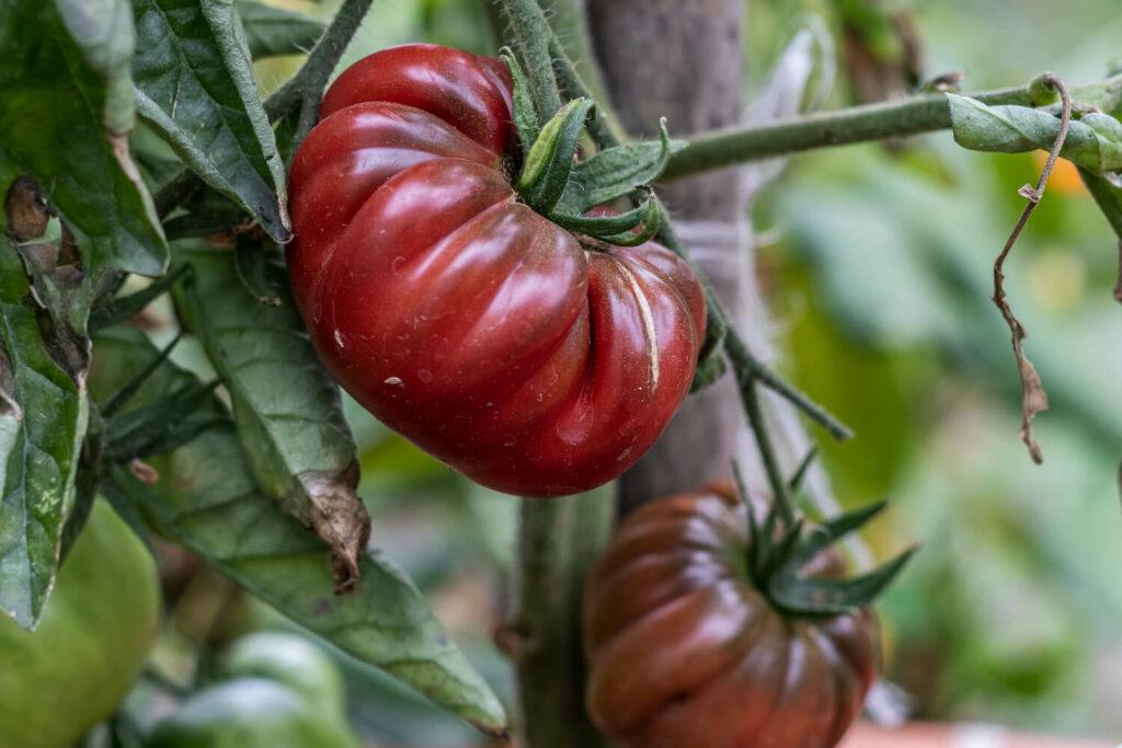 Purple Calabash: Die Fleischtomate im Portrait