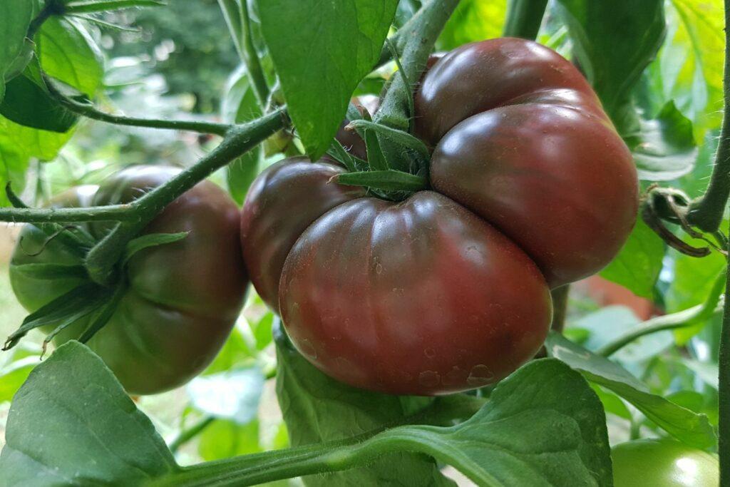 Schwarze von der Krim Tomate an der Pflanze
