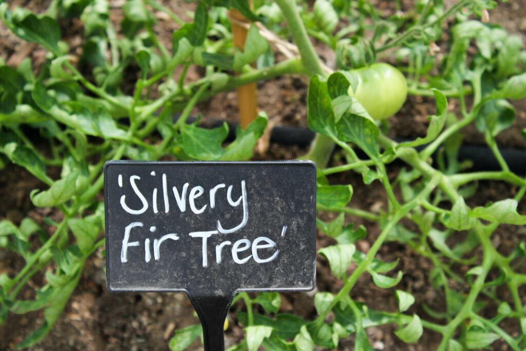 Tomate Silbertanne mit Schild 'Silvery Fir Tree'