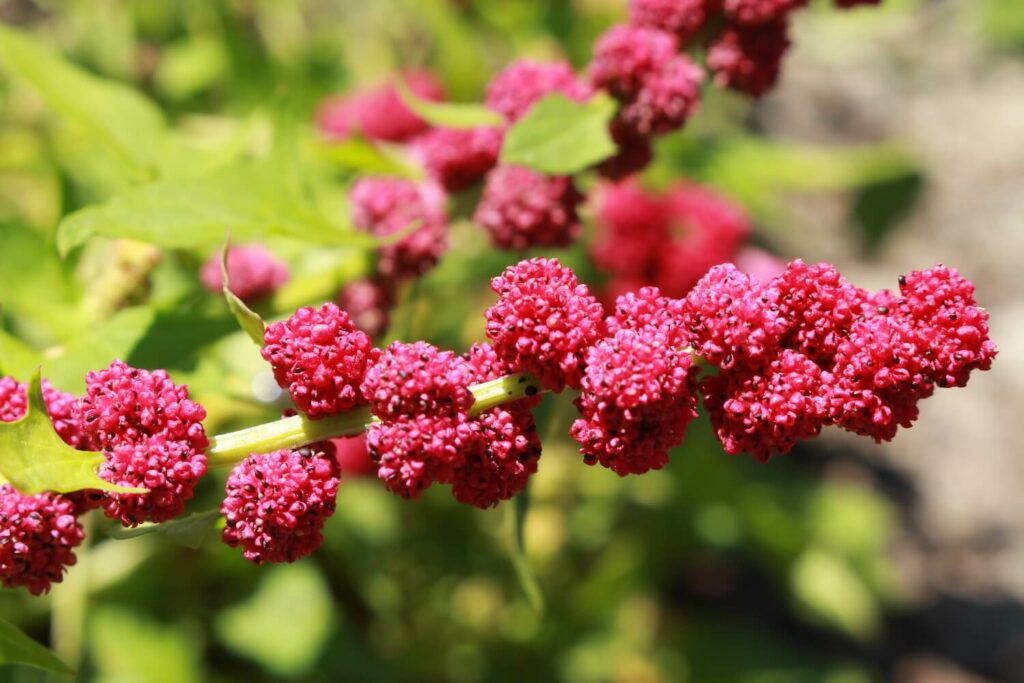 Ähriger Erdbeerspinat-Pflanze