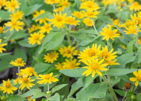 Echte Arnika-Pflanzen
