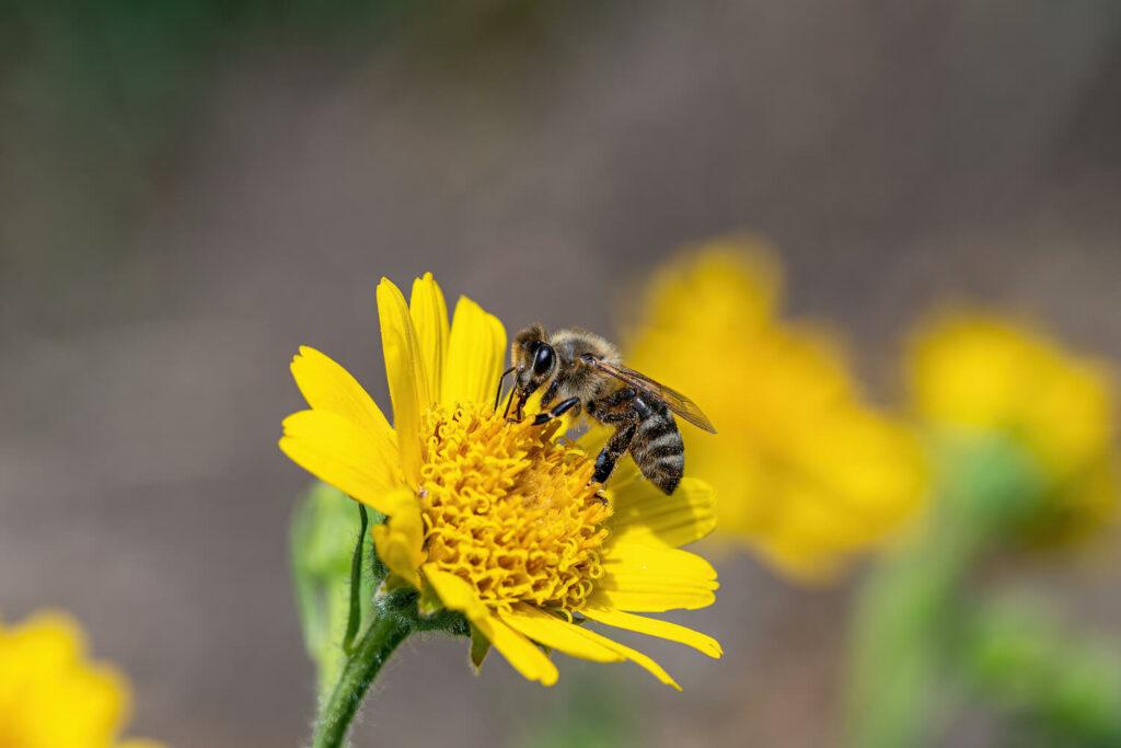 Biene auf Arnika