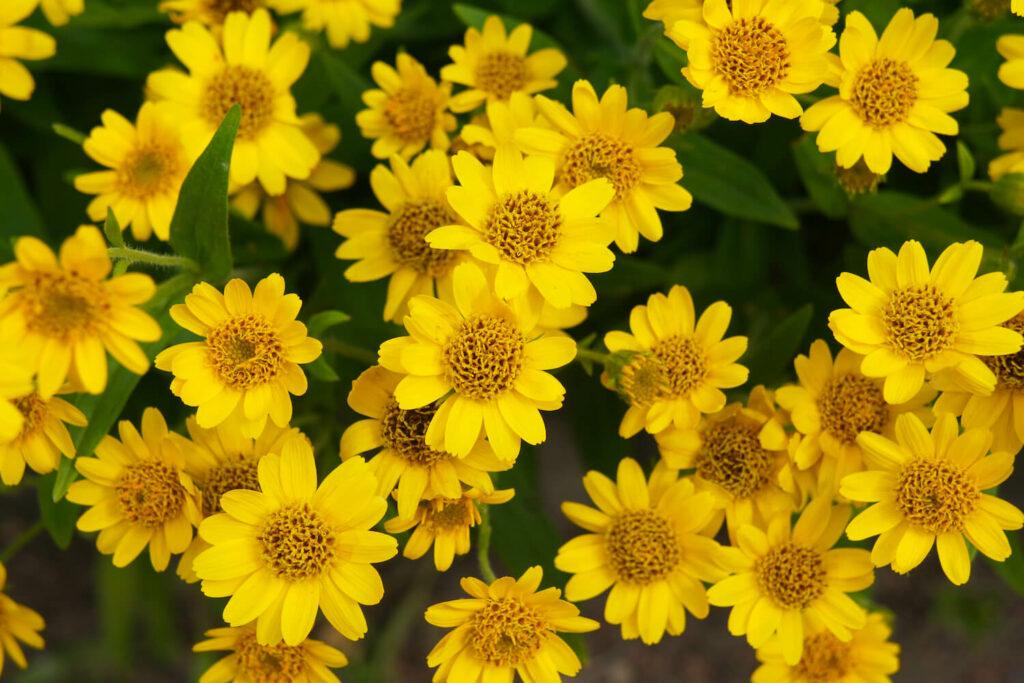 Blüten der Arnika