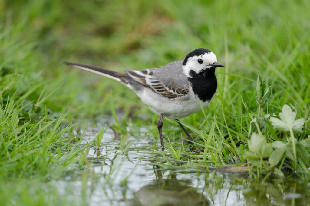 Bachstelze: Nest, Jungvögel & mehr im Steckbrief