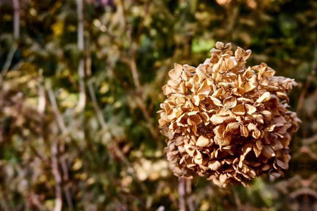 Im Winter verblühen Hortensien