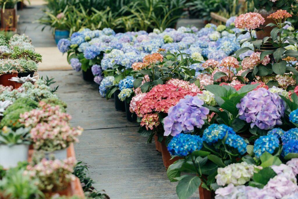 Hortensien kommen in allen Farben