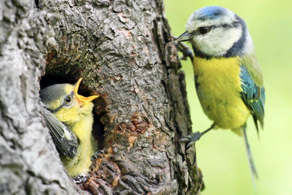 Füttern des Blaumeise-Jungvogels