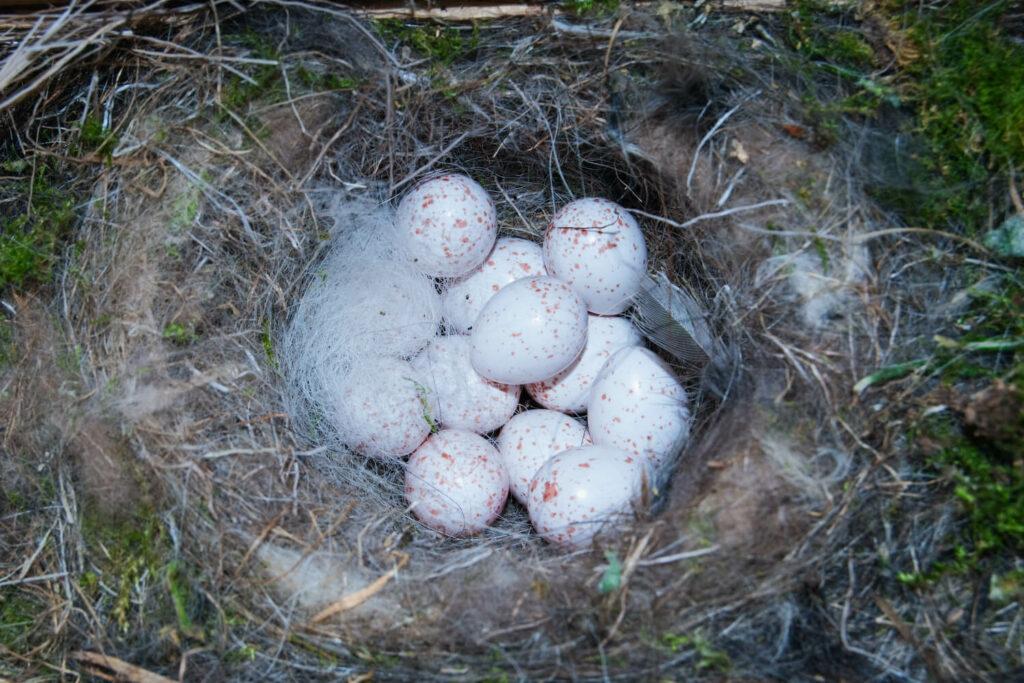 Blaumeise-Eier im Nest