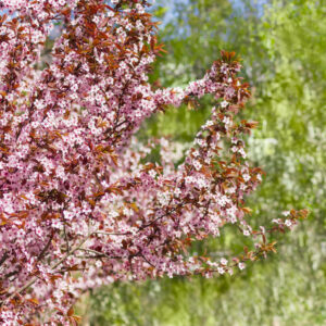 Blutpflaumen-Baum In Blüte
